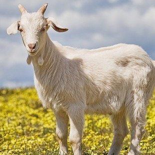 800px-Domestic_goat_kid_in_capeweed