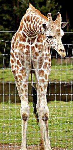 neckless giraffe